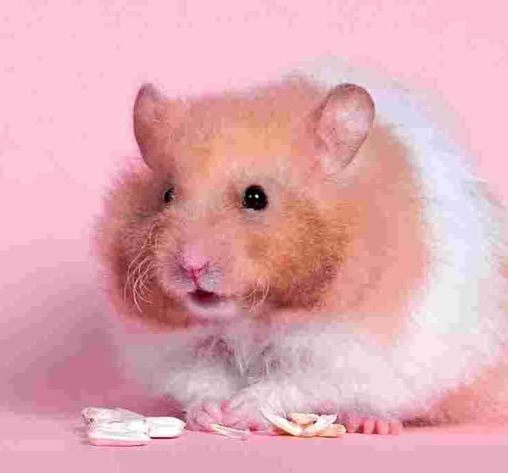 Kenapa Hamster Makan Anak Sendiri yourdevan.com