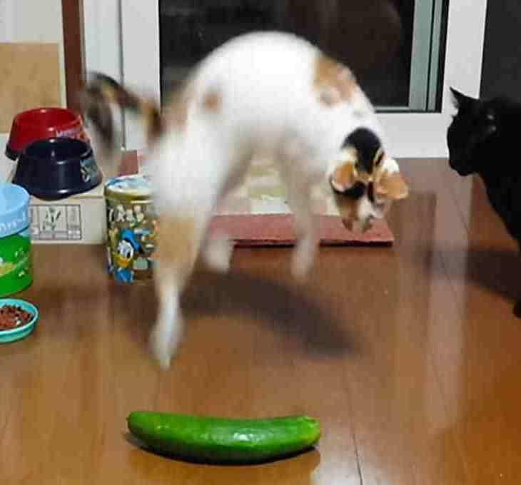 mengapa kucing takut mentimun yourdevan